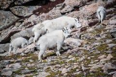 Troupeau de chèvres de montagne sauvages en Rocky Mountains du Colorado Photographie stock