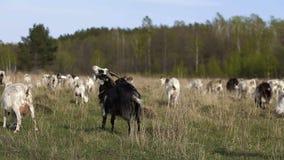 Troupeau de chèvres domestiques frôlant dans un domaine clips vidéos
