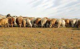 Troupeau de chèvres et de moutons Images stock