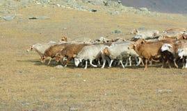 Troupeau de chèvres et de moutons Image stock