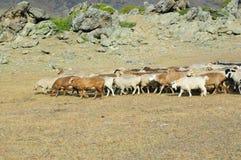 Troupeau de chèvres et de moutons Photographie stock libre de droits
