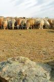 Troupeau de chèvres et de moutons Photos stock