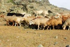 Troupeau de chèvres et de moutons Images libres de droits