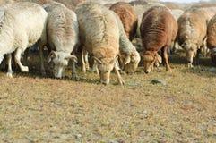 Troupeau de chèvres et de moutons Photos libres de droits