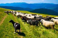 Troupeau de chèvres et de sheeps Images stock