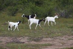 Troupeau de chèvres frôlant dans le maquis photographie stock