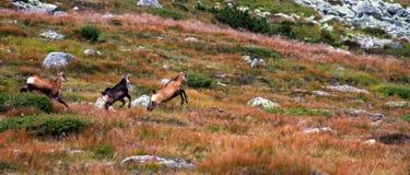 Troupeau de chèvres sauvages fonctionnant sur la montagne Images libres de droits