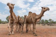 Troupeau de chameaux dans l'Australie d'intérieur, vers le haut de la fin photographie stock