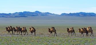 Troupeau de chameaux sauvages Photographie stock libre de droits