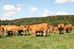 Troupeau de cheptels bovins du Limousin Photographie stock libre de droits