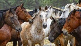 Troupeau de cheval - centre de l'attention Photos stock