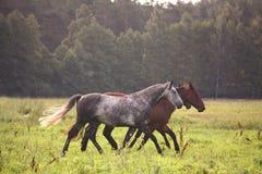 Troupeau de cheval fonctionnant librement sur le pâturage Photographie stock libre de droits