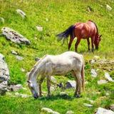 Troupeau de cheval sur le pâturage Images libres de droits