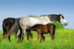 Troupeau de cheval sur le pâturage photo libre de droits