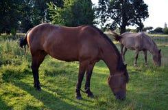 Troupeau de cheval sur le pâturage Image stock