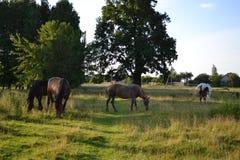 Troupeau de cheval sur le pâturage Photo stock