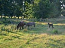 Troupeau de cheval sur le pâturage Image libre de droits