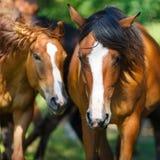Troupeau de cheval sur le pré images libres de droits