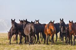 Troupeau de chevaux Image libre de droits