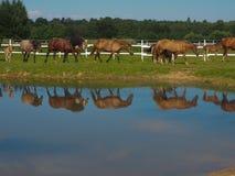 Troupeau de chevaux allant boire, région de Tver, Russie Photo stock