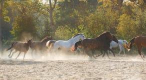 Troupeau de chevaux courants Photo stock