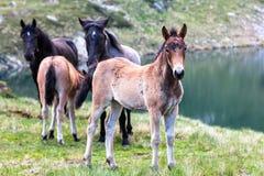 Troupeau de chevaux dans la montagne Photographie stock libre de droits