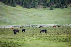 Troupeau de chevaux de alimentation Photographie stock