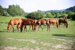 Troupeau de chevaux de gidran frôlant dans un pâturage d'été Photo stock