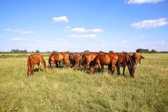 Troupeau de chevaux de gidran mangeant l'été frais d'herbe verte Image libre de droits