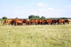 Troupeau de chevaux de gidran mangeant l'herbe verte fraîche sur le pré hongrois Photographie stock