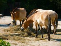 Troupeau de chevaux de Przewalski (przewalskii d'Equus) Photographie stock libre de droits