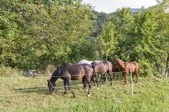Troupeau de chevaux de pur sang frôlant dans un pré Photographie stock