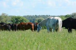 Troupeau de chevaux de pur sang sur un pré vert Image libre de droits
