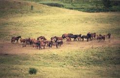 Troupeau de chevaux de Trakehner près de la montagne Photos libres de droits