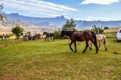 Troupeau de chevaux en région de Drakensberg dans KZN Afrique du Sud photographie stock libre de droits