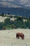Troupeau de chevaux frôlant dans le domaine Photos stock