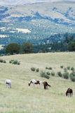 Troupeau de chevaux frôlant dans le domaine Image stock