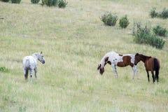 Troupeau de chevaux frôlant dans le domaine Photographie stock libre de droits