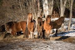 Troupeau de chevaux islandais Photographie stock libre de droits