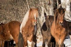 Troupeau de chevaux islandais Photo libre de droits
