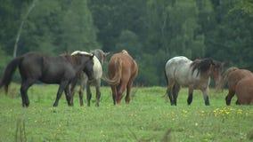 Troupeau de chevaux marchant sur le pâturage, multipliant les chevaux, la ferme de cheval et l'agriculture banque de vidéos