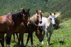 Troupeau de chevaux qui mangent des verts sur une pente de montagne Photos libres de droits