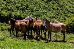 Troupeau de chevaux qui mangent des verts sur une pente de montagne Photos stock