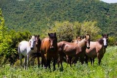 Troupeau de chevaux qui mangent des verts sur une pente de montagne Photo libre de droits