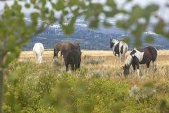 Troupeau de chevaux de ranch du Wyoming dans le domaine d'herbe Photos stock