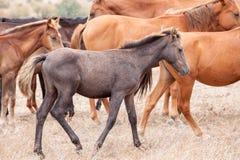 Troupeau de chevaux sauvages Photographie stock libre de droits