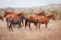 Troupeau de chevaux sauvages Photos stock