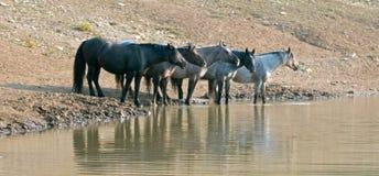 Troupeau de chevaux sauvages au point d'eau dans la chaîne de cheval sauvage de montagnes de Pryor au Montana Etats-Unis Image libre de droits