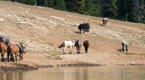 Troupeau de chevaux sauvages au point d'eau dans la chaîne de cheval sauvage de montagnes de Pryor au Montana U Photo stock