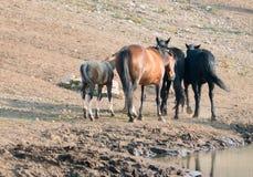 Troupeau de chevaux sauvages avec le poulain au point d'eau dans la chaîne de cheval sauvage de montagnes de Pryor au Montana Eta Image stock